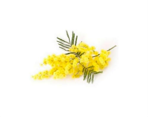 vitapositiva_mimosa-002